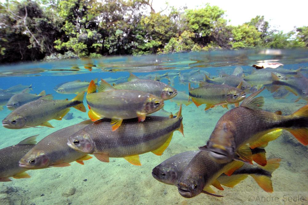 Peixes Piraputangas