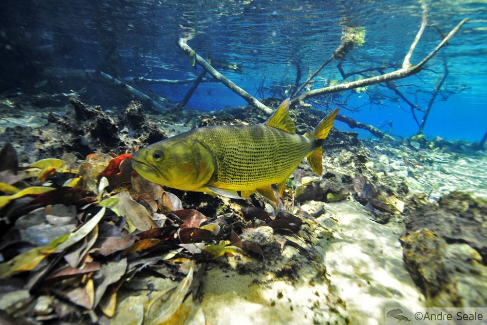 Flutuação no Rio da Prata - peixe dourado