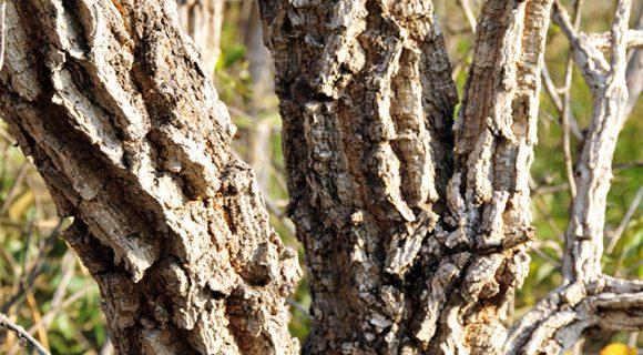 Árvore de cerrado