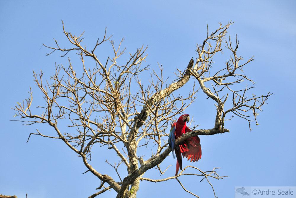 Arara vermelha