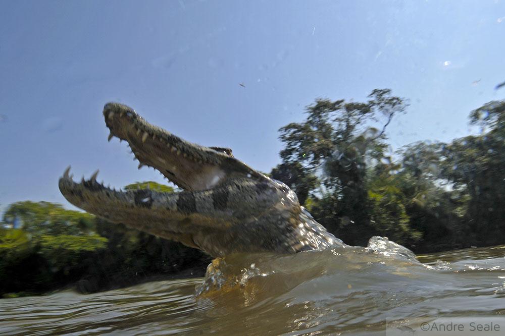 Aventura do dia - jacaré do Pantanal