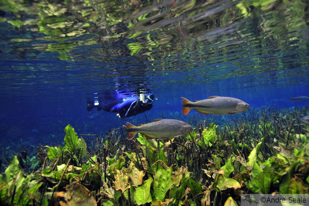 Misterioso azul na flutuação no Aquário Natural de Bonito