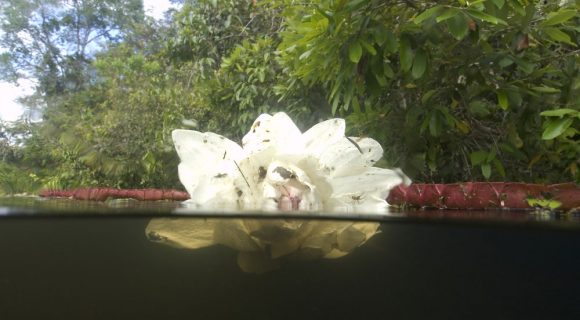 Sexta Sub: Flor de vitória-régia para o dia da Amazônia