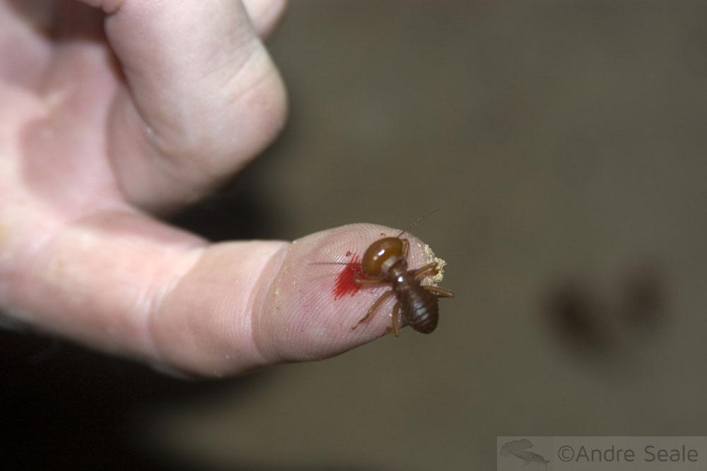 Cupim da Amazônia picando dedo