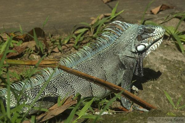 Iguana verde da Amazônia