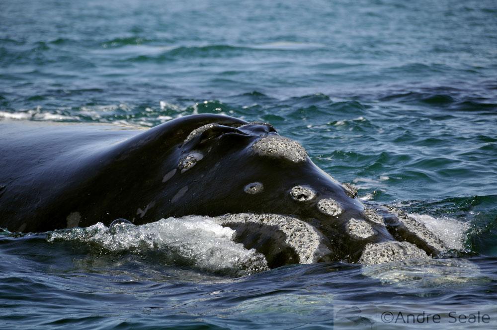 Baleia franca - calosidades