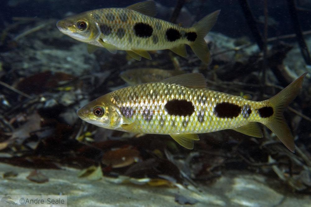 Mergulho autônomo no rio da prata - peixes