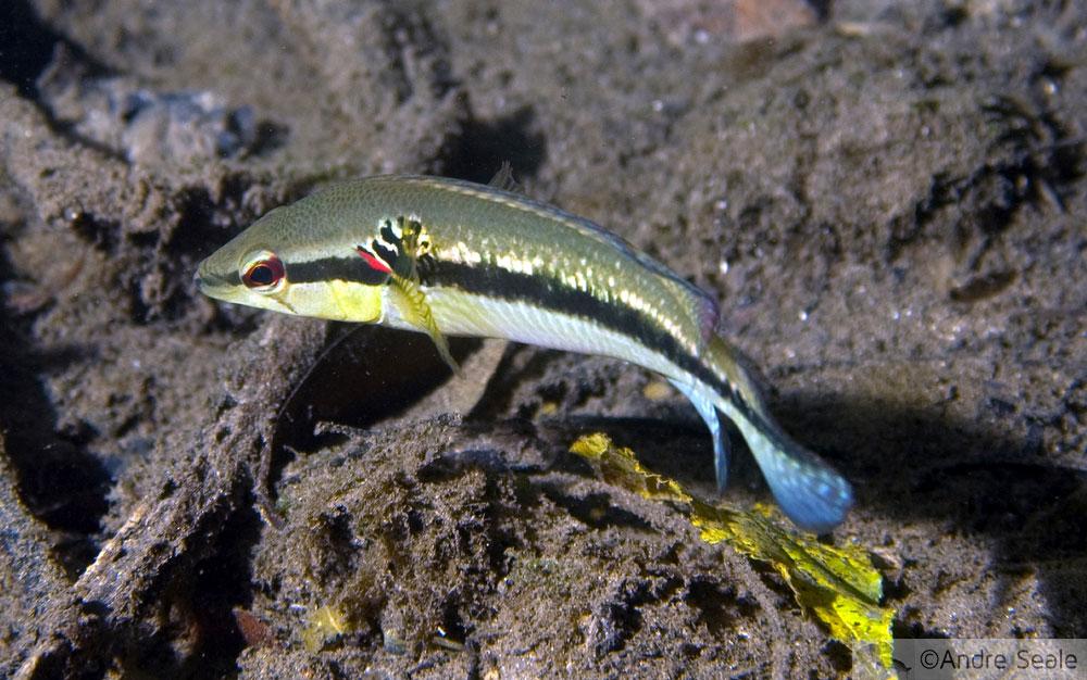 Mergulho autônomo no rio da Prata - peixe joaninha