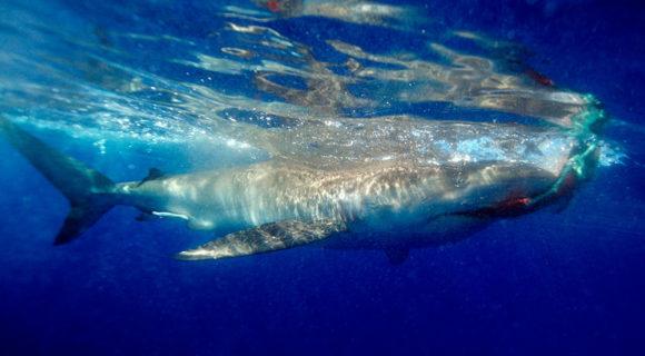 Desafio malla: como controlar um tubarão?