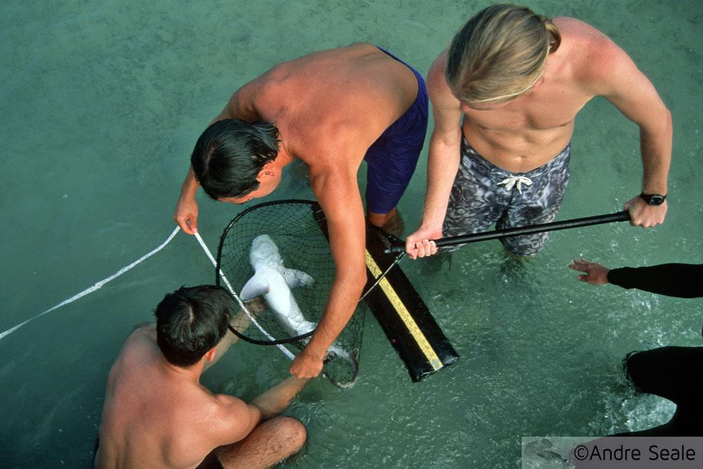 Como controlar um tubarão - coleta por pesquisadores