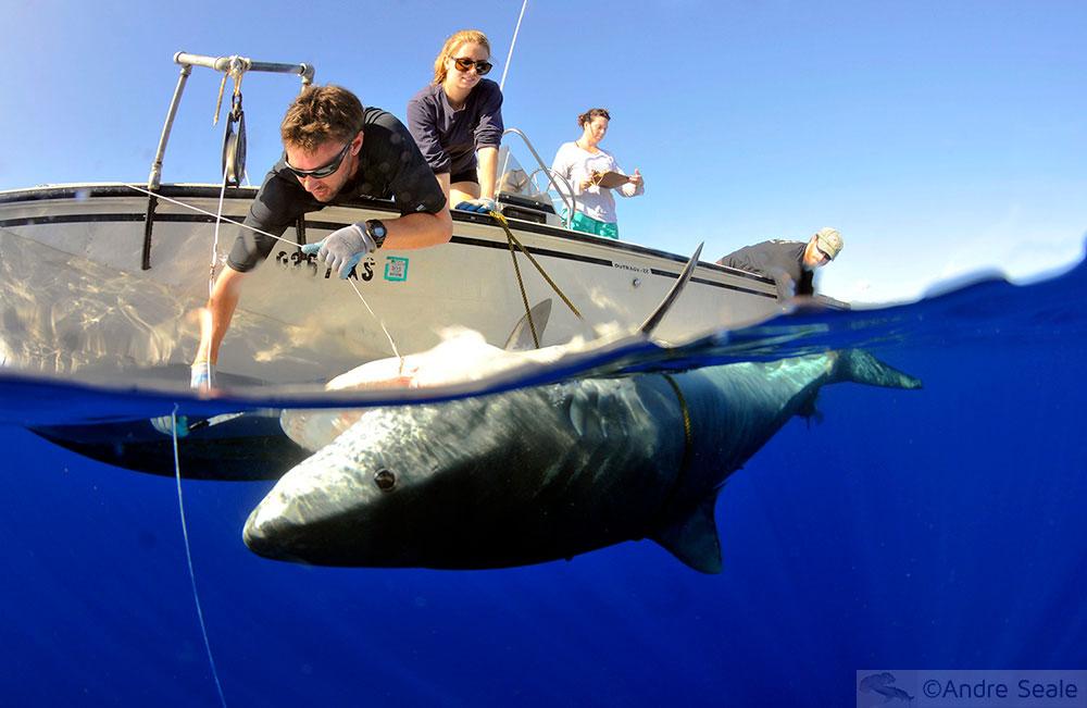 Pesquisa científica de campo com tubarão