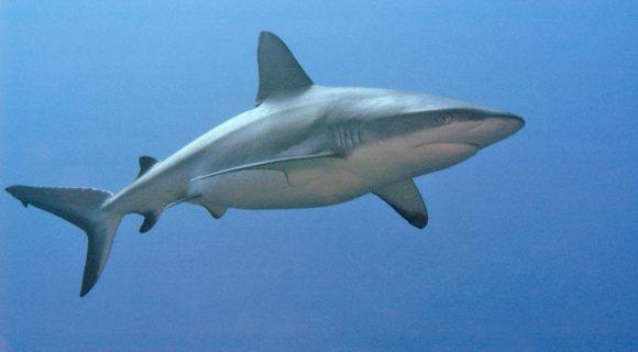 Sexta Sub: tubarões de Palau sob ameaça