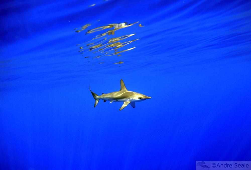 Tubarão-martelo - mergulho no mar de Kailua-Kona - Big Island