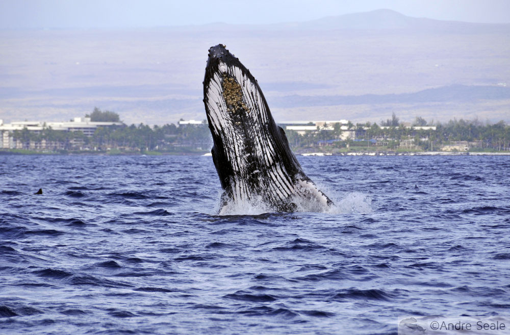 No Mar de Kailua-Kona - baleia jubarte
