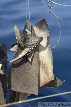 Sharkwater - barbatanas de tubarão secando
