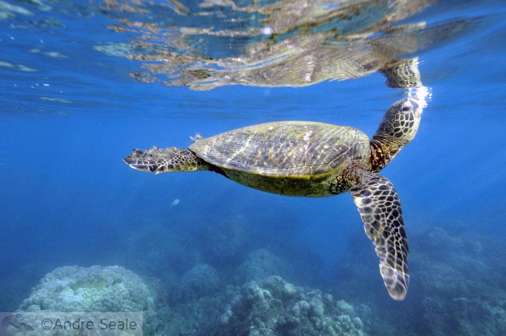 Respiro da tartaruga verde