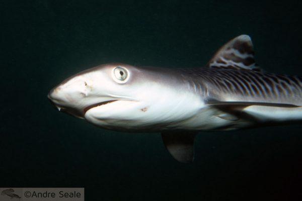 Tubarão bate-volta - comportamento do Tubarão tigre no Havaí