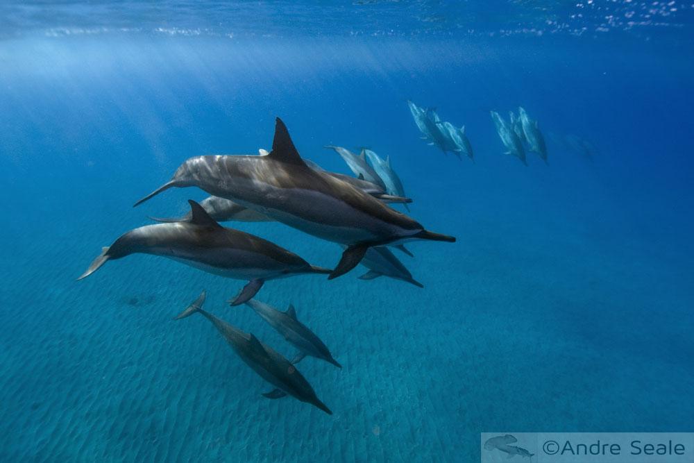Golfinhos rotadores do Havaí