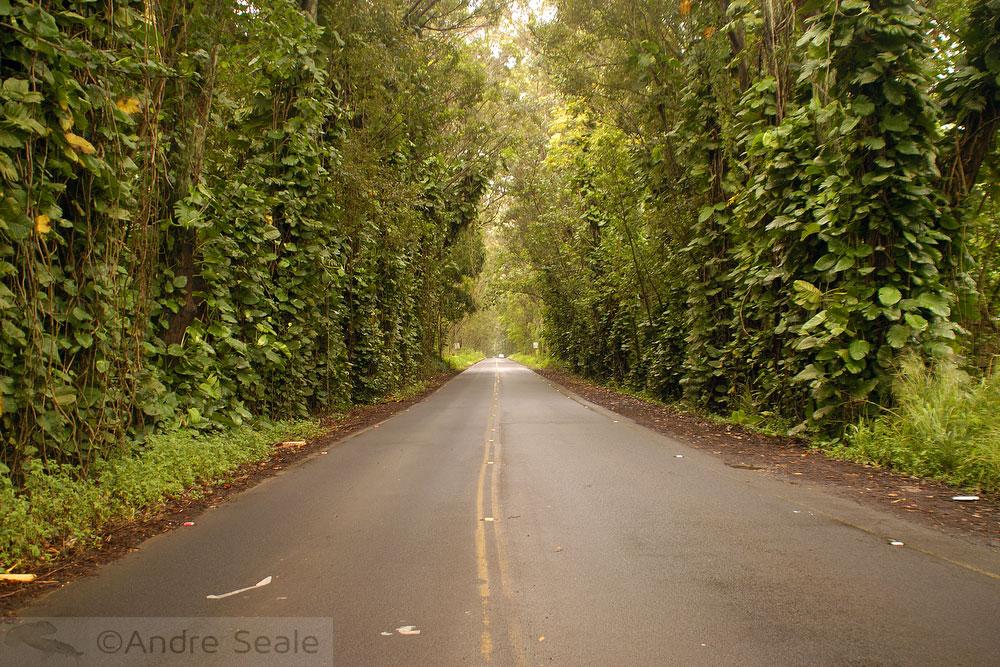 Túnel de árvores - Kauai - Havaí