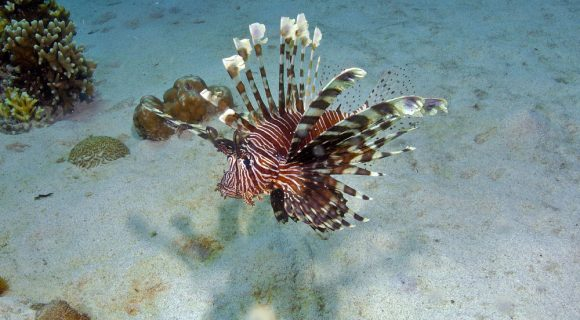 Sexta Sub: o caso do peixe-leão nas Bahamas