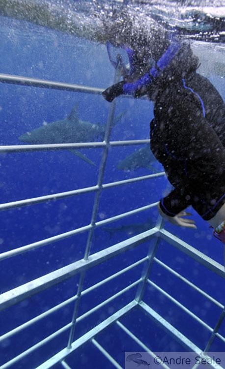 Mergulho na gaiola para ver tubarões no Havaí