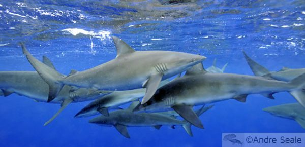 Tubarões de Galápagos