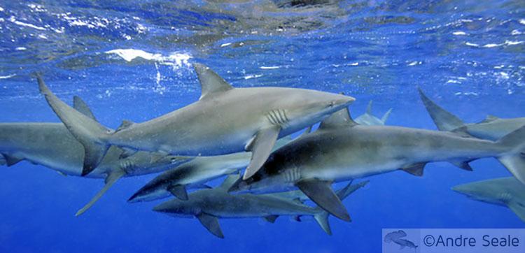 Tubarões de Galápagos - North Shore de Oahu