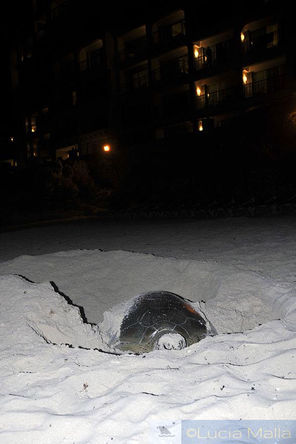 Tartaruga desovando - Cancun - México