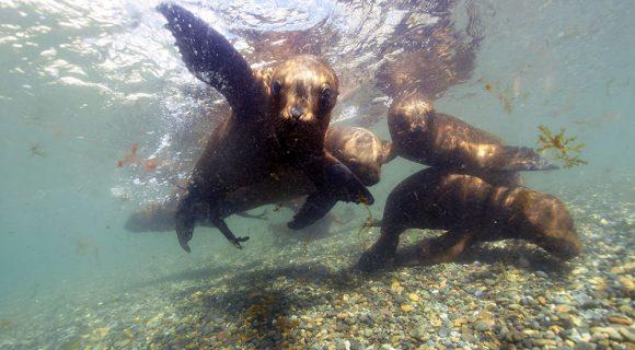 Mergulho com os leões marinhos da Patagônia