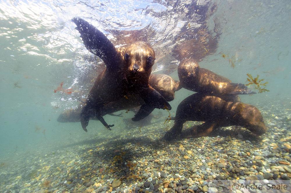 Mergulho com os Leões marinhos do sul