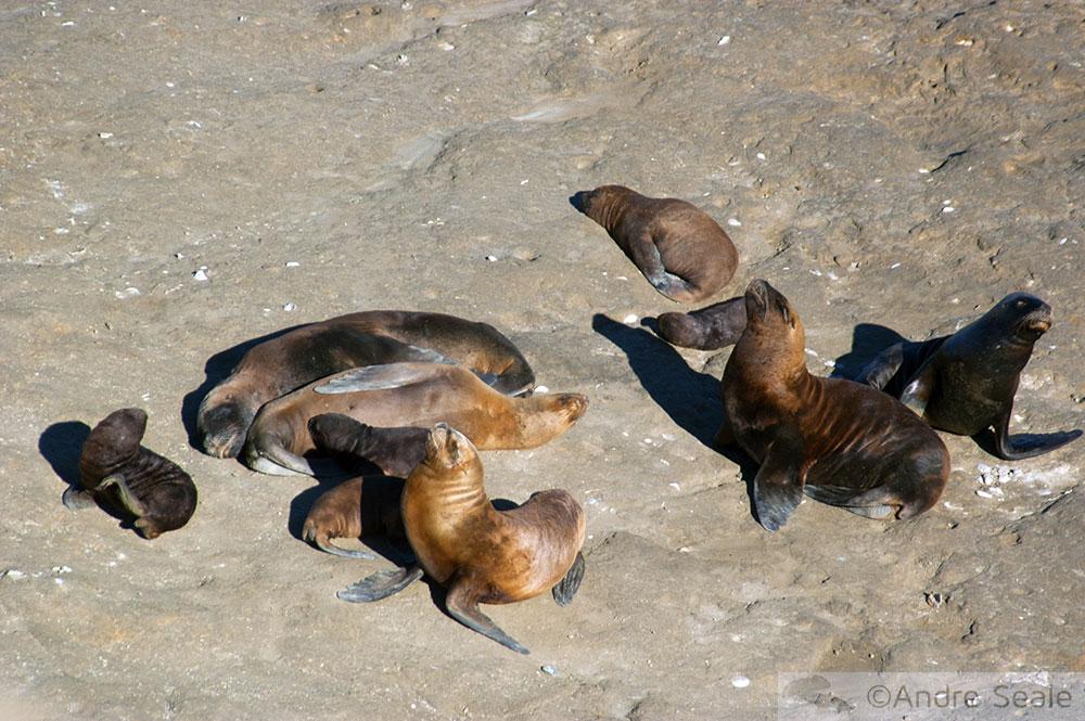 Leões marinhos da Patagônia - harém e filhotes