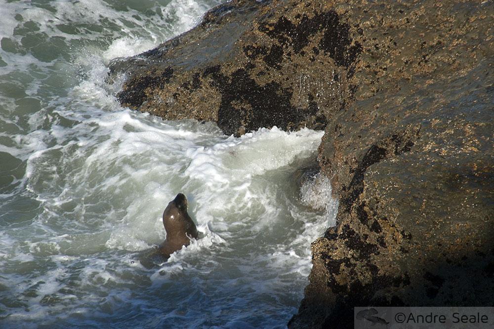 Leão marinho do sul