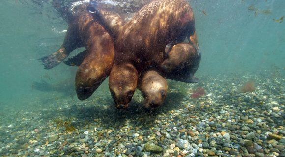Sexta Sub: leões marinhos do sul