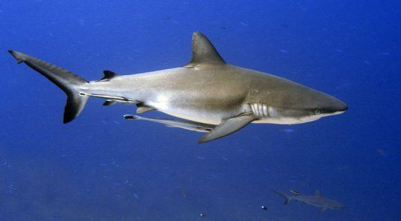 Sexta Sub: Palau estabelece a primeira reserva marinha de tubarões do mundo
