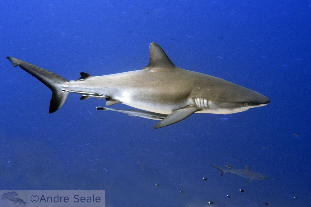 Palau - Reserva Marinha de Tubarões