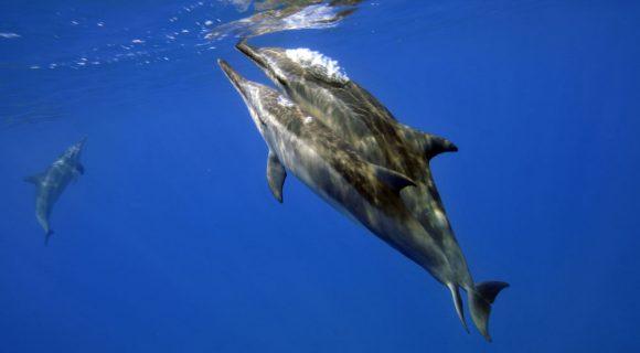 Sexo animal: golfinhos