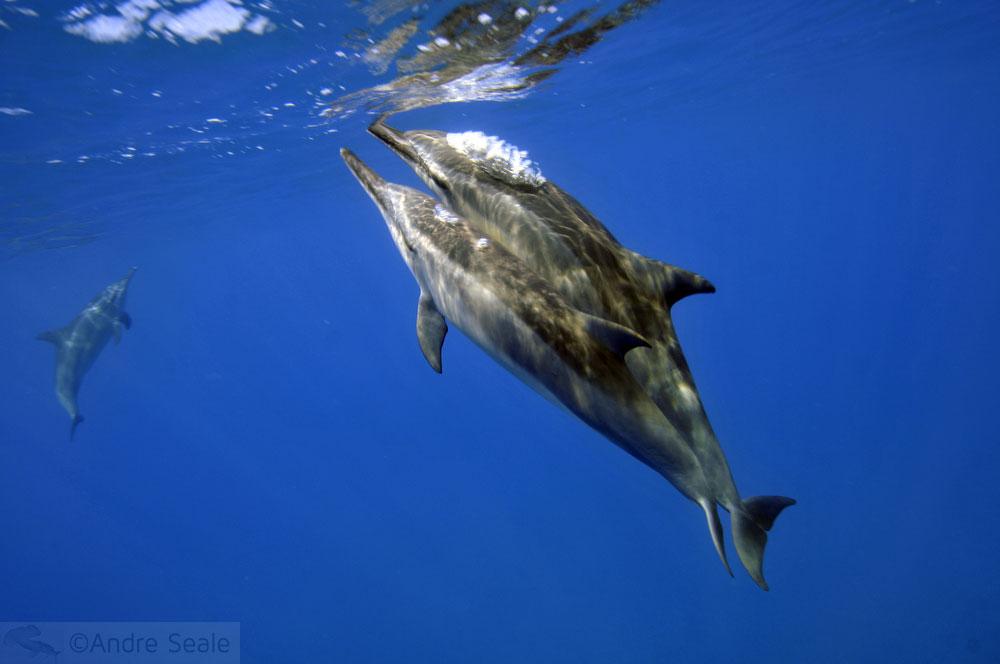 Sexo de golfinhos rotadores