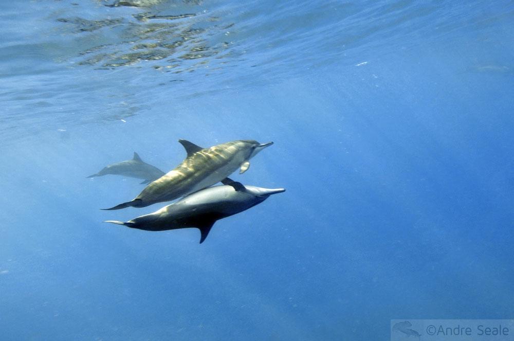 Menage a trois - sexo de golfinhos