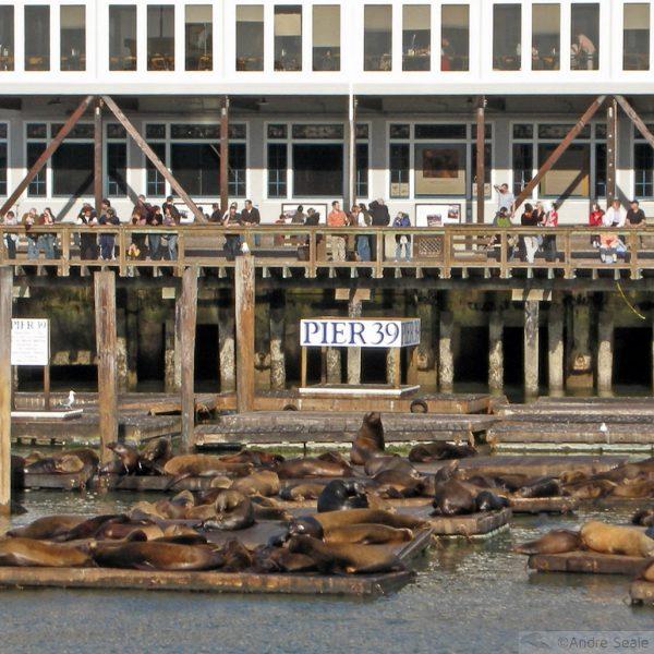 Leões marinhios no píer 39