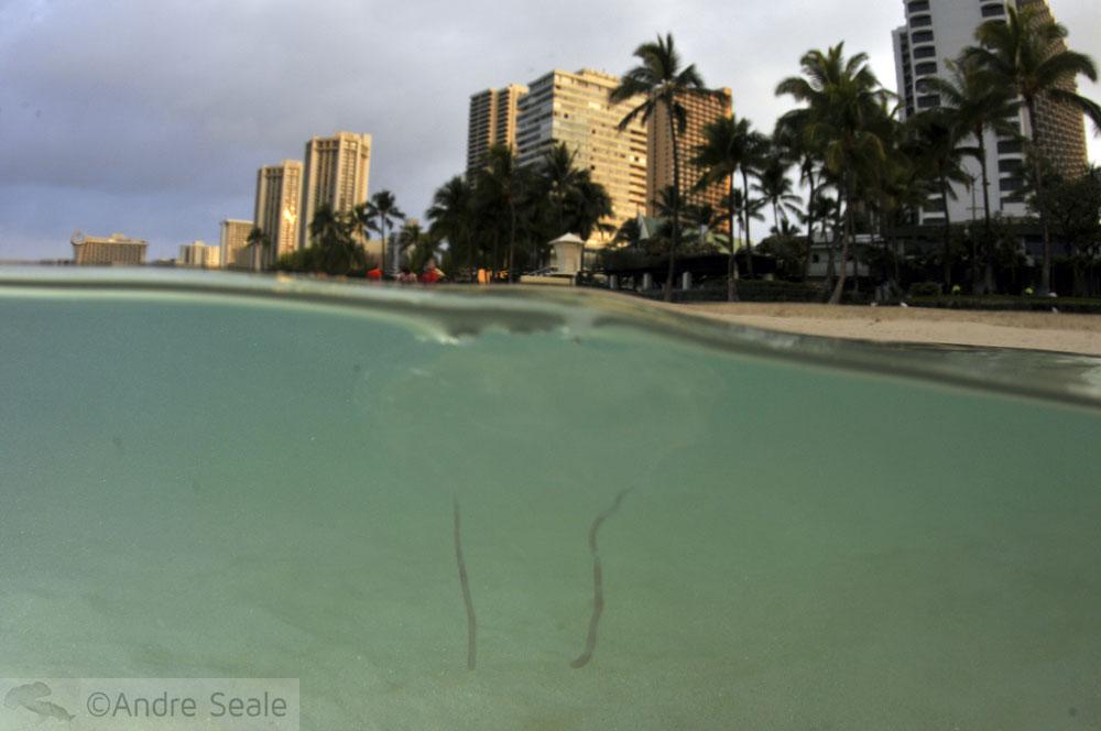 Águas-vivas de Waikiki