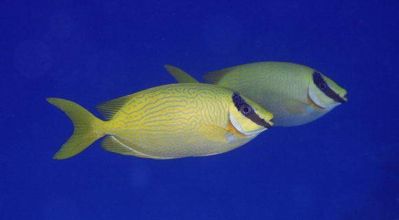 Sexta Sub: peixe-coelho de Páscoa