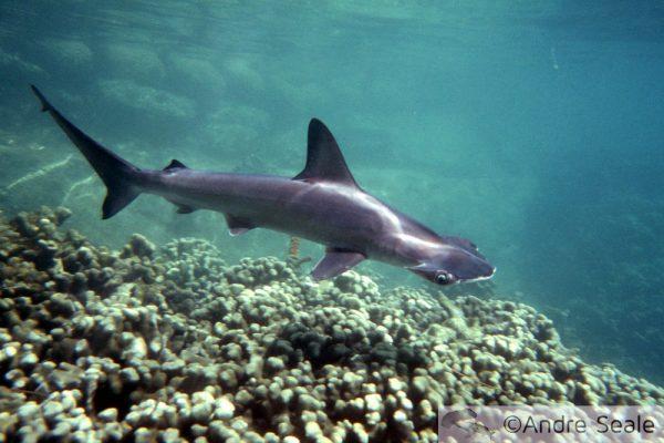 Tubarão Havaiano