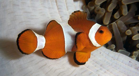 Sexta Sub: Nemo