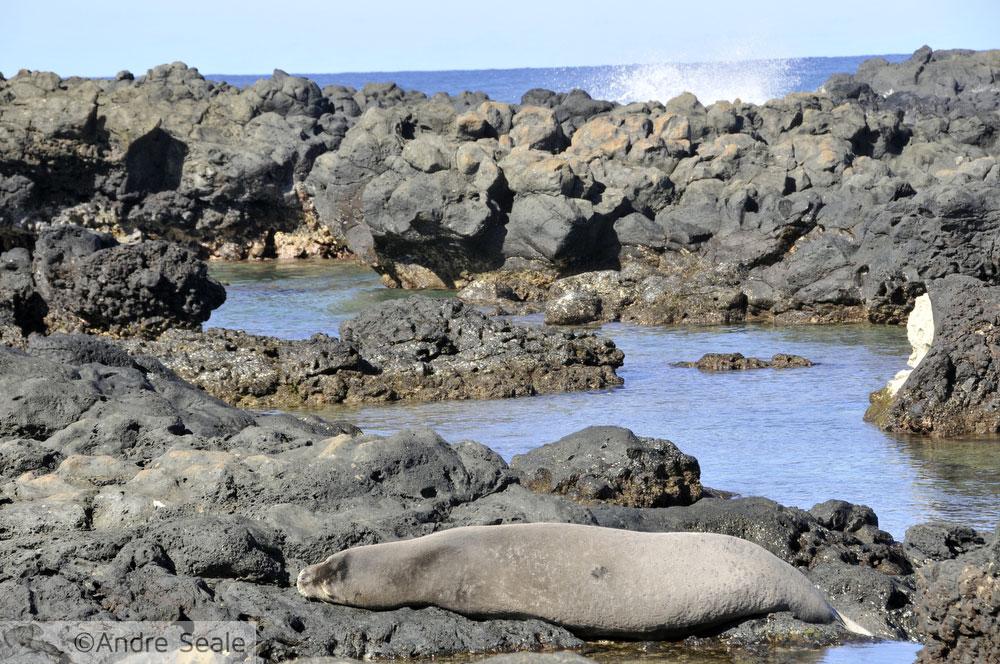 Foca monge havaiana - criticamente ameaçada de extinção