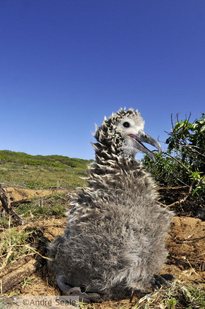 Filhote de albatroz-Laysan
