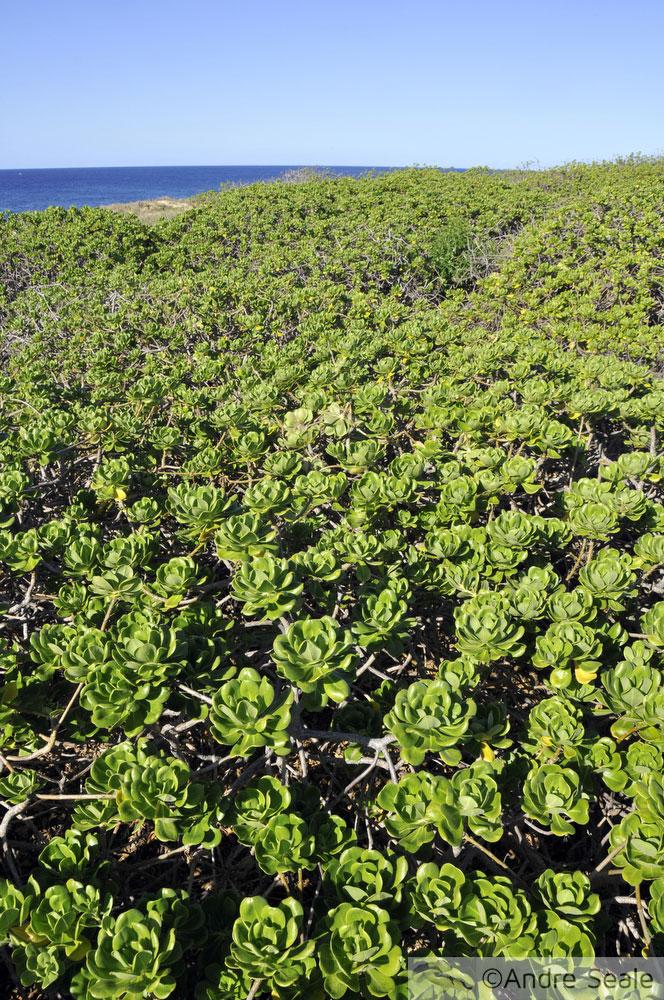 A trilha do Kaena Point - vegetação de praia e restinga