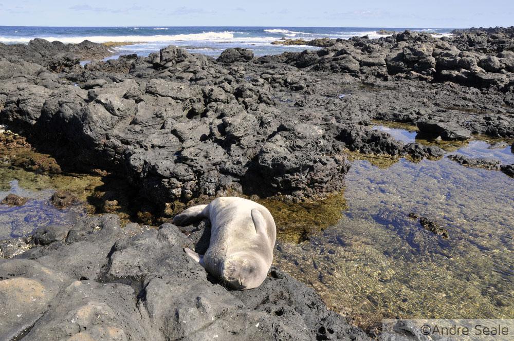 Foca monge havaiana dormindo em piscina de maré - Kaena Point