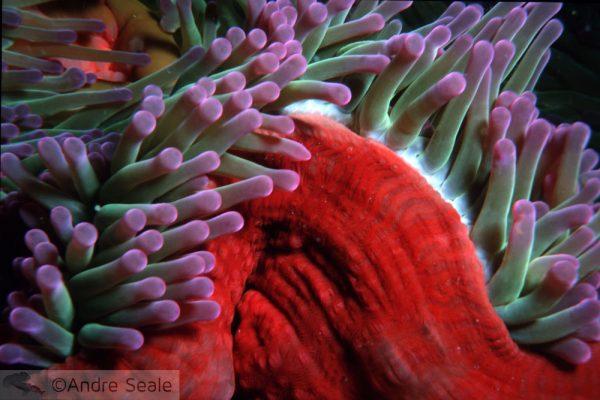 Anêmona vermelha - Heteractis magnifica - Grande Barreira de Corais Australiana
