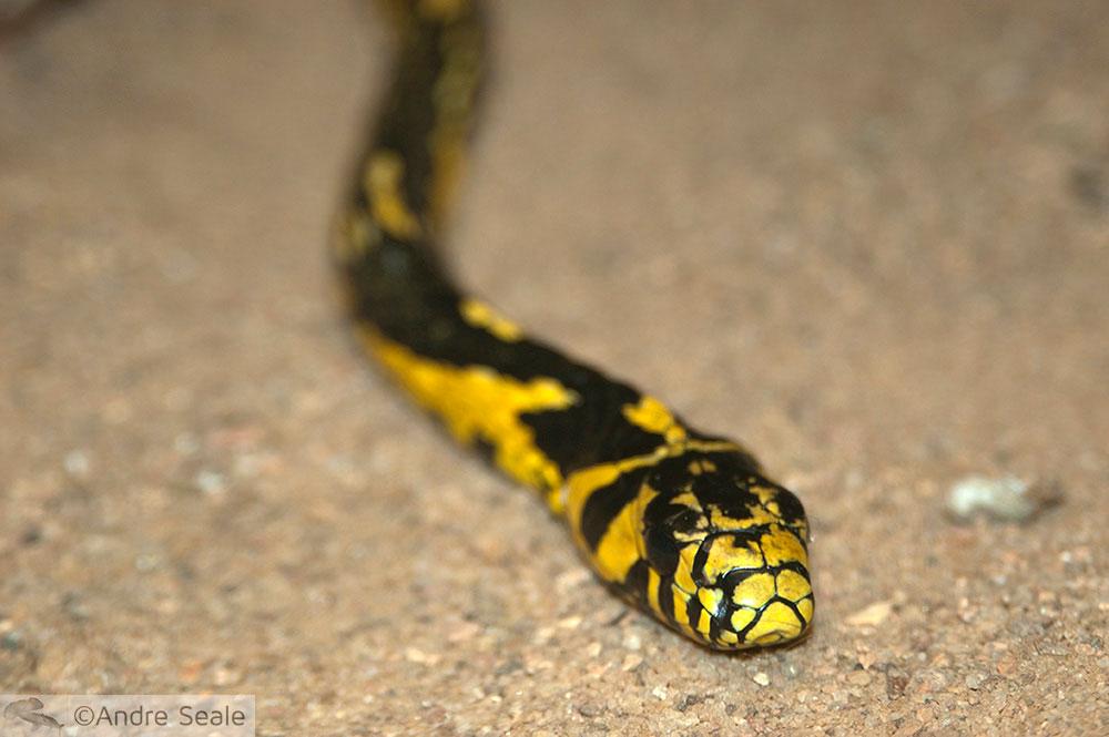 Cobra amarela - perdas do incêndio do Butantã