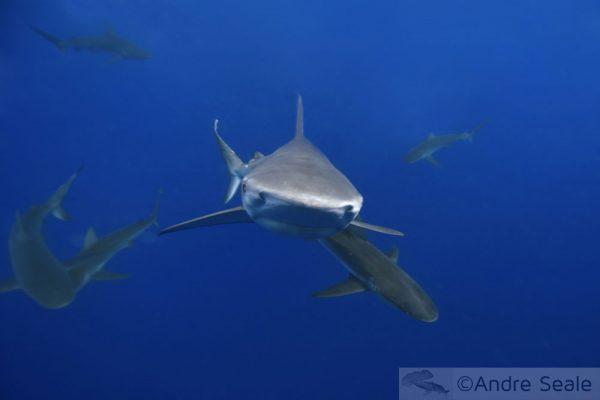 Acabou a sopa de barbatana de tubarão no Havaí